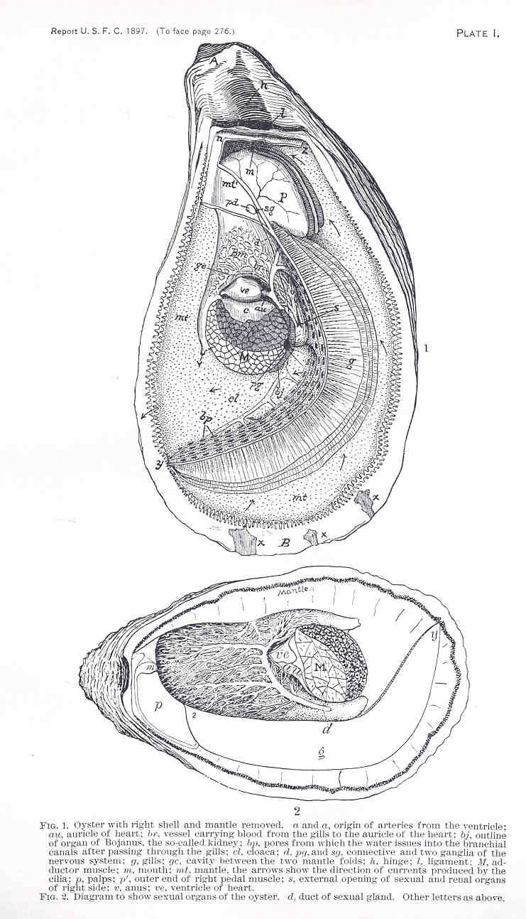 medium resolution of file fmib 33852 oyster with right shell and mantle removed diagram to show sexual