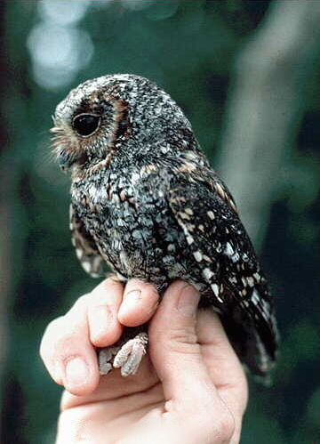 Speckled Elf Owl : speckled, Flammulated, Wikipedia