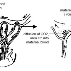 Mouse Dissection Diagram 2 Way Electrical Switch Wiring Anatomy And Physiology Of Animals Reproductive System Wikibooks Maternal Foetal Blood Flow In The Placenta Jpg