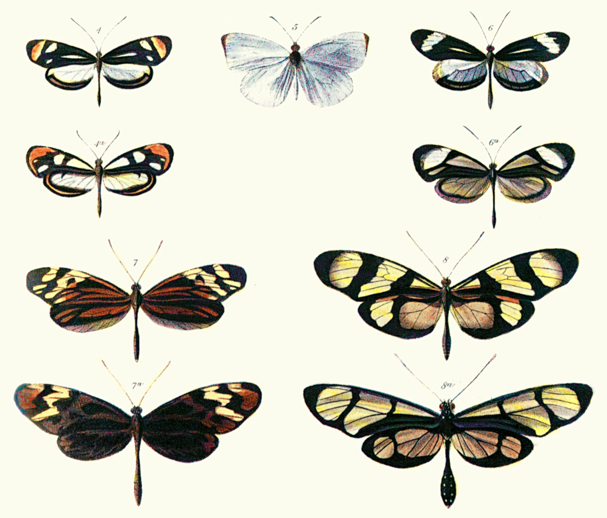 Plate from Bates (1862) illustrating Batesian ...
