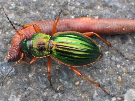 Carabus auratus, un predatore (Di Soebe - Opera propria, CC BY-SA 3.0, https://commons.wikimedia.org/w/index.php?curid=186200)