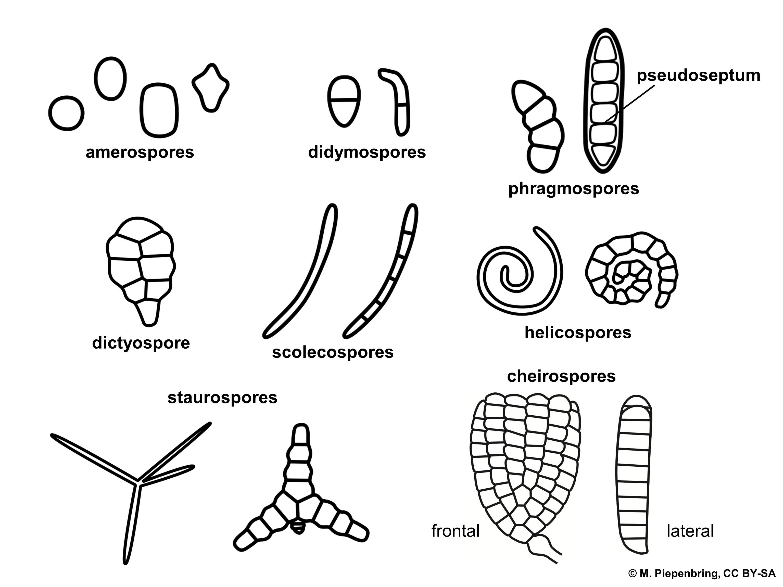 File 04 02 03 Types Of Conidia A Ual Fungi Imperfect