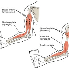 Triceps Brachii Diagram 6 Pin Adapter Why Not The Smith Emelie Ekvall