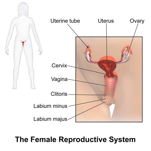 small resolution of female reproductive system