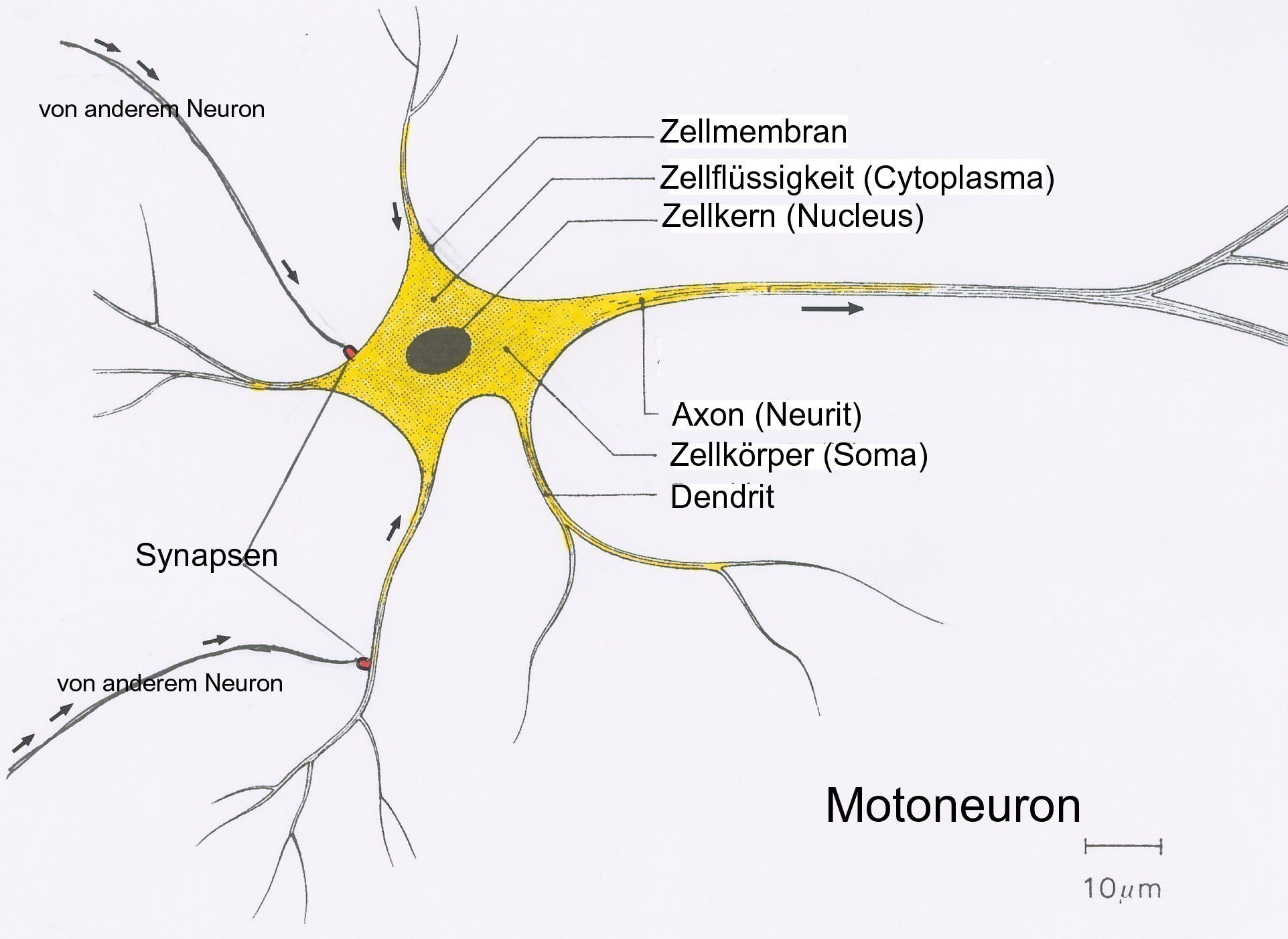 multipolar neuron diagram labeled 2 wire thermostat file neuron5 jpg wikimedia commons