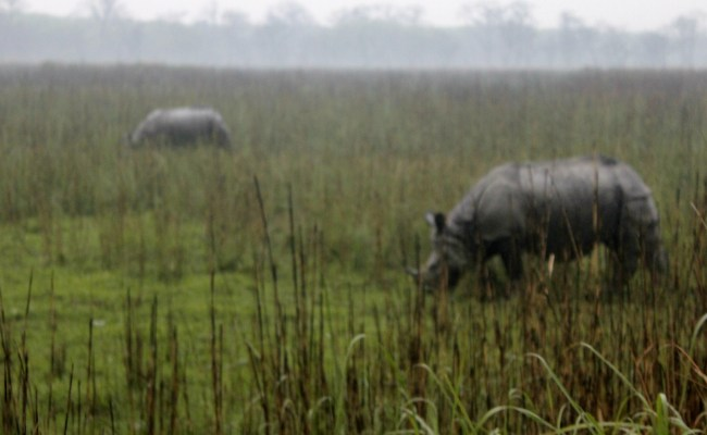 File Two One Horned Rhinos Grazing Away In The Grasslands