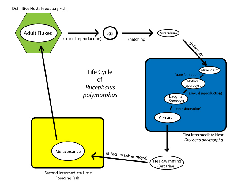 human life cycle stages diagram les paul junior wiring file bucephaluslifecycle jpg wikimedia commons