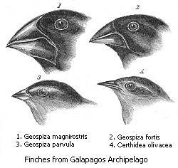 Darwin's finches or Galapagos finches. Darwin,...