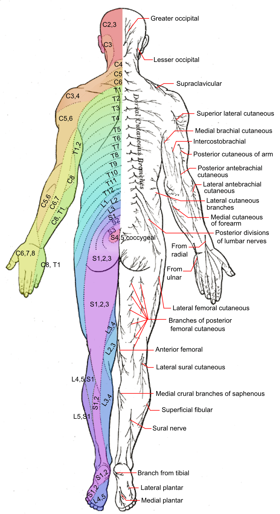 diagram of sciatic nerve leg starter motor wiring chevy axial line (dermatomes) - wikipedia