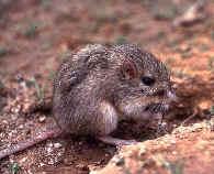 desert pocket mouse (Chaetodipus penicillatus)