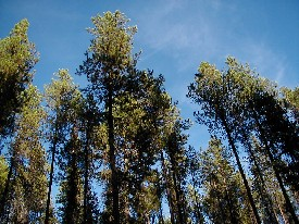 US Forest Service photo of Lodgepole Pines in ...