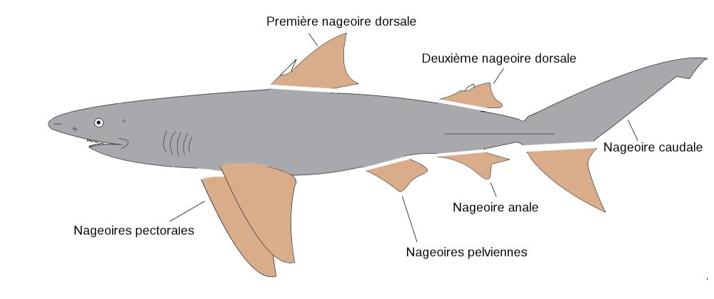 medium resolution of shark fin diagram simple wiring diagram schema shark skin diagrams shark fin diagram