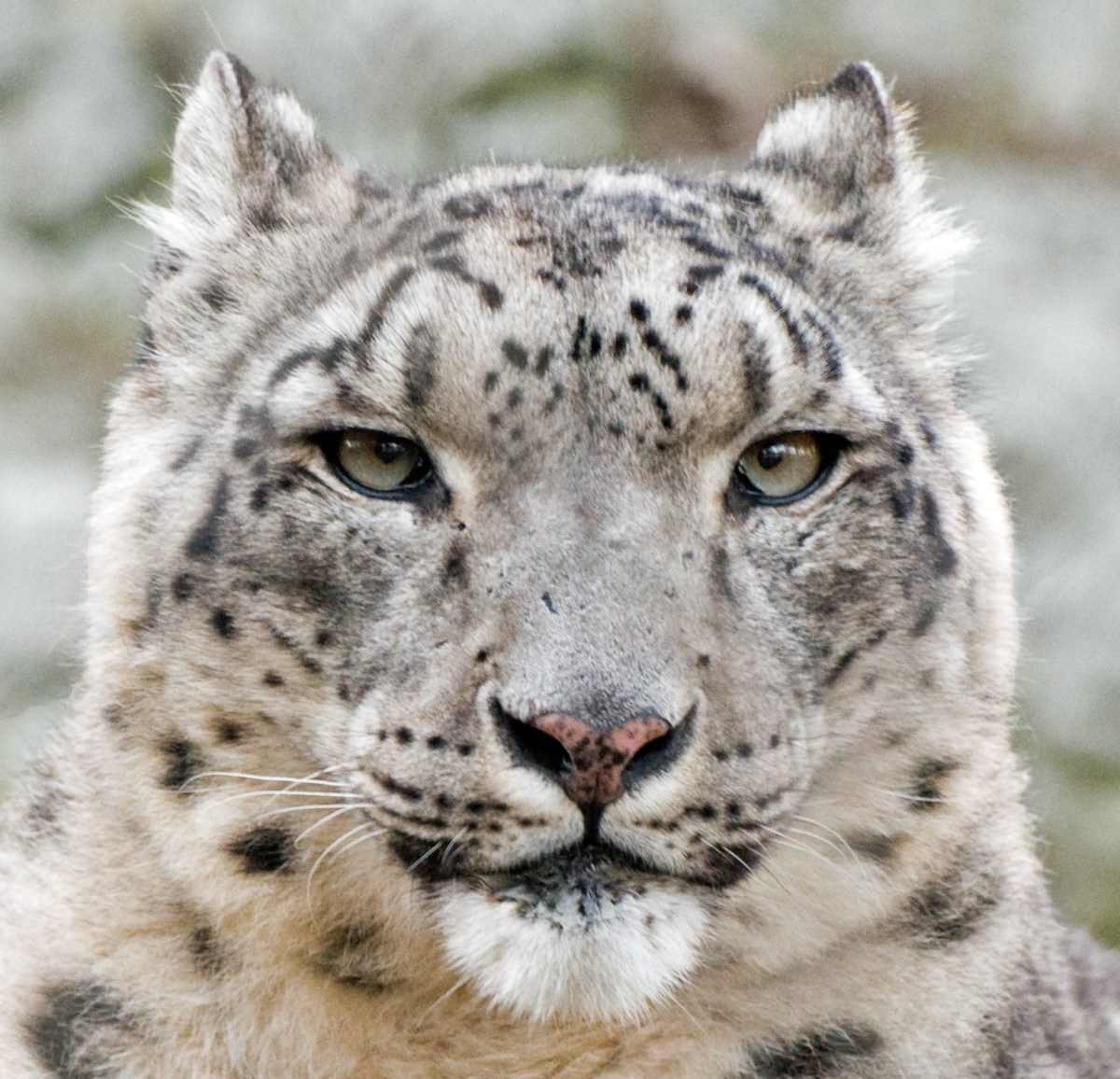 Snow leopards are found in the Tien Shan mountains