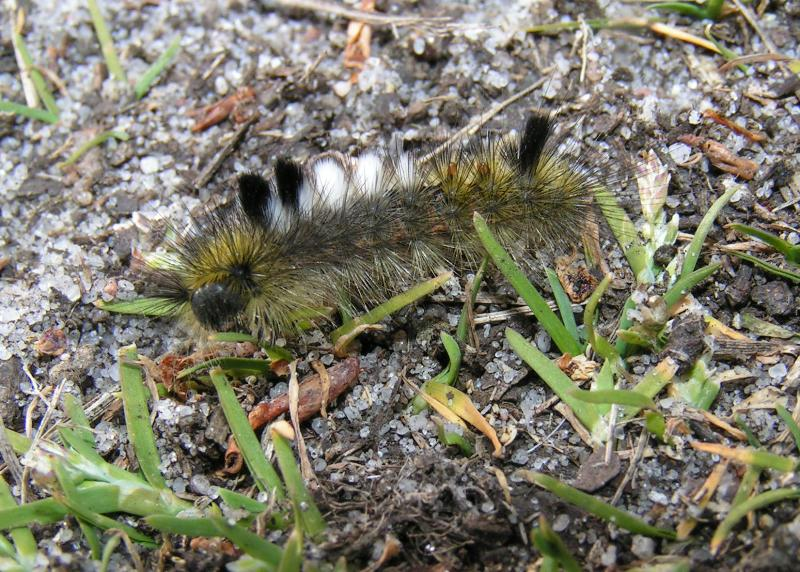 Dark tussock caterpillar, photo by Lo Troisfontaine