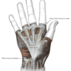 Palmar Hand Muscle Anatomy Diagram Wiring For 1996 Gas Club Car Golf Cart Aponeurosis Wikipedia