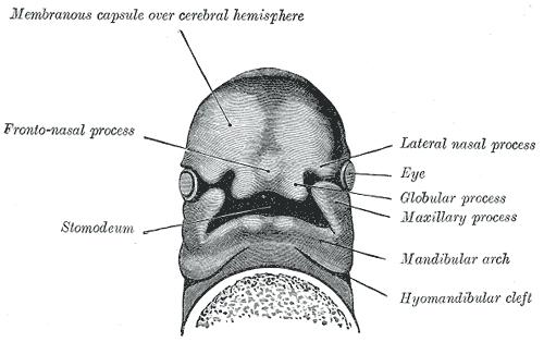 avian anatomy diagram labeled 2005 dodge magnum pump engine frontonasal prominence - wikipedia