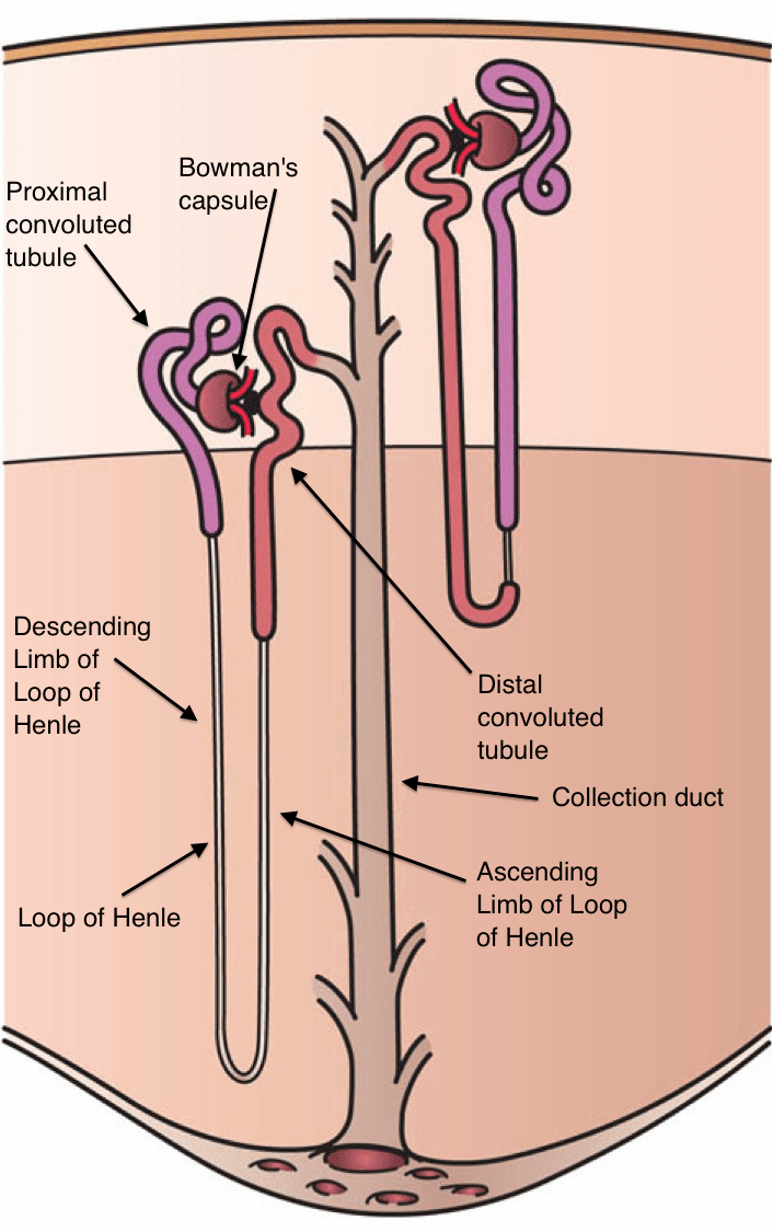 urinary system diagram and functions hps wiring nephron - wikipedia
