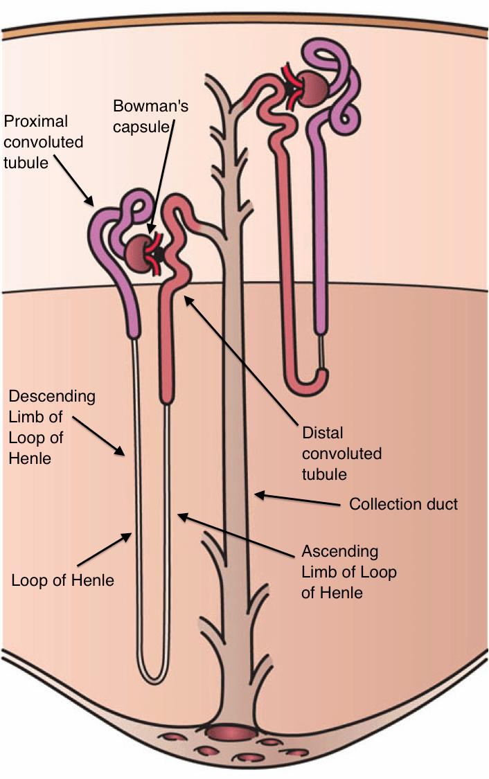 medium resolution of nephron