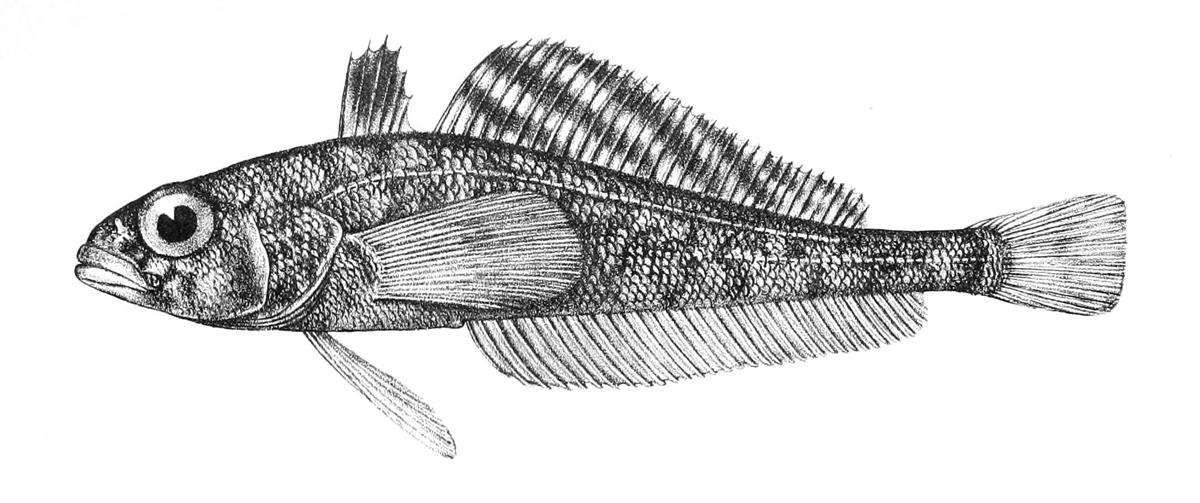 吻鱗肩孔南極魚 - 維基百科,自由的百科全書