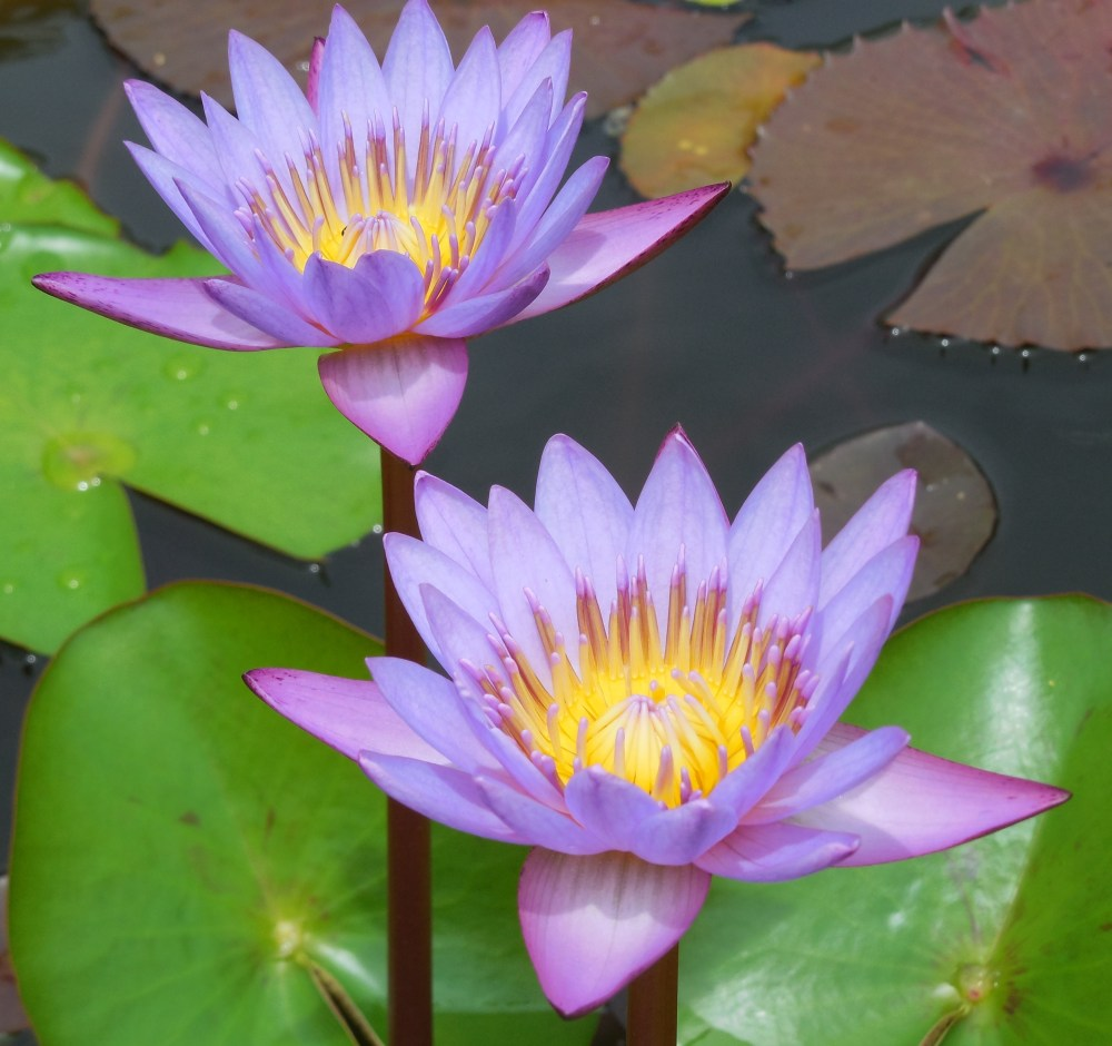 medium resolution of file water lily in thiruvananthapuram jpg