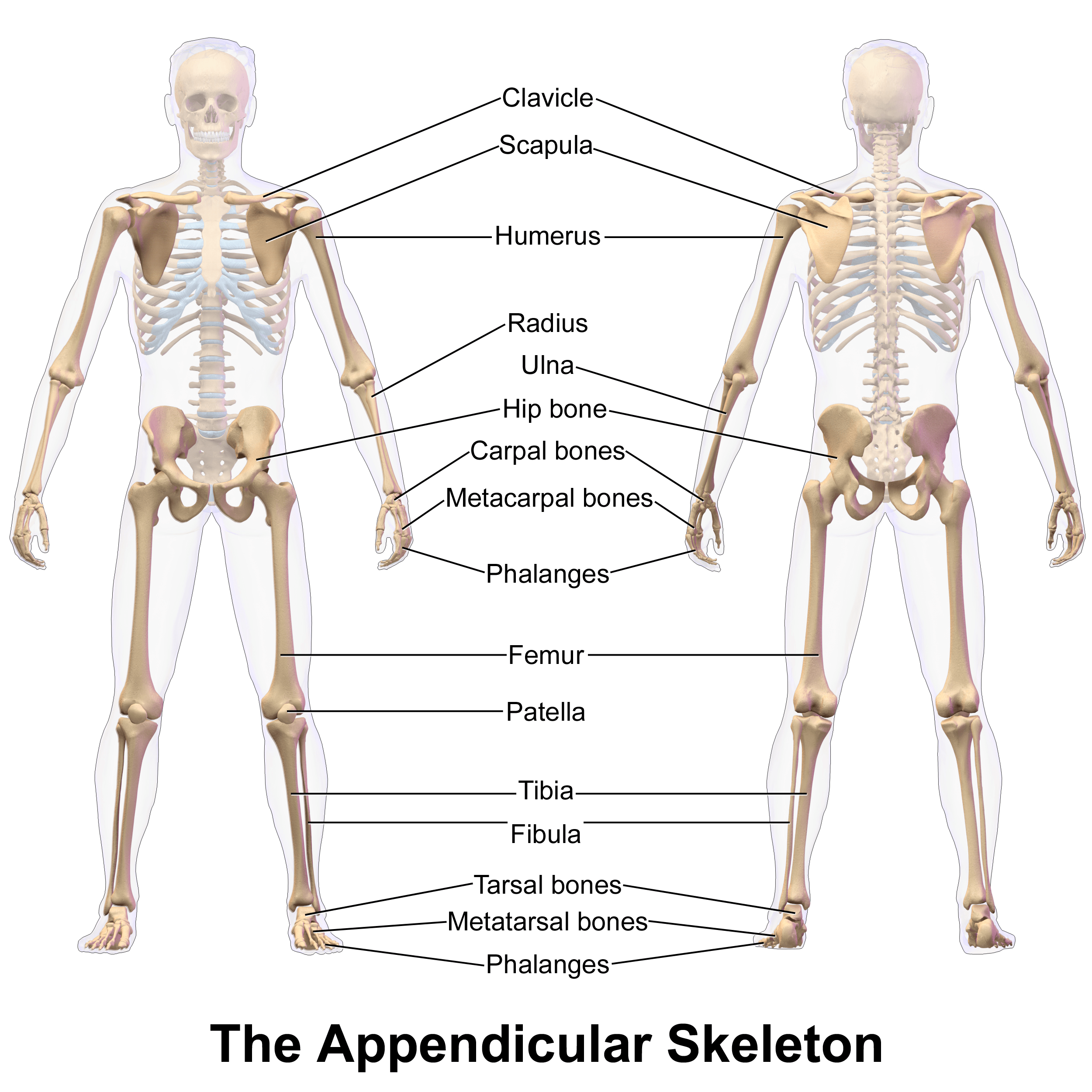 Appendicular Skeleton