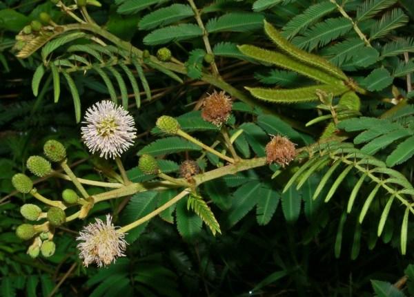 Mimosa in Australia Wikipedia