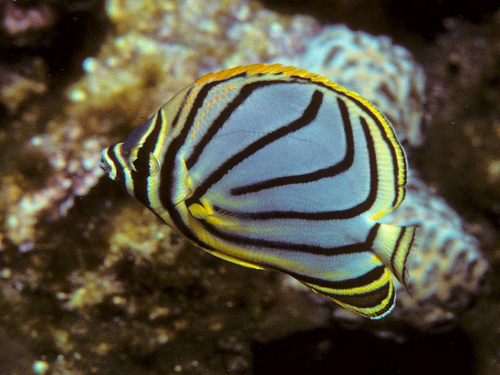 Scrawled butterflyfish  Wikipedia