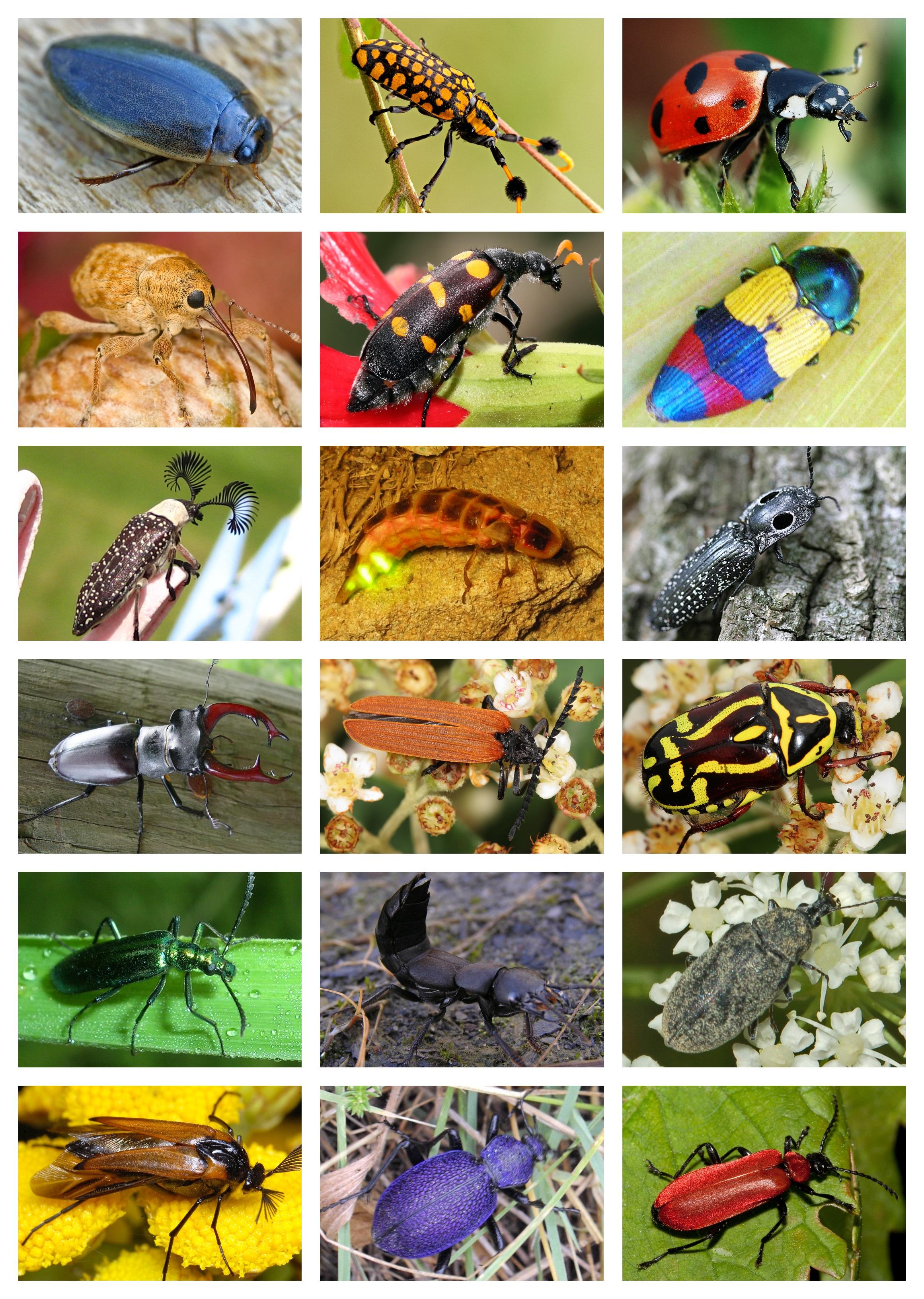 Animal Protecteur En 5 Lettres : animal, protecteur, lettres, Coleoptera, Wikipédia