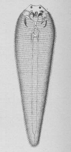 Pentastomida Wikispecies
