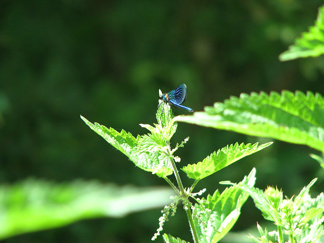 English: Damselfly perched on nettle The wild ...