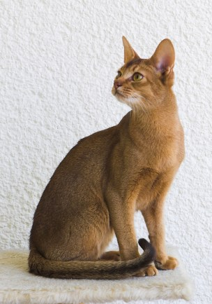 Risultati immagini per abyssinian cat