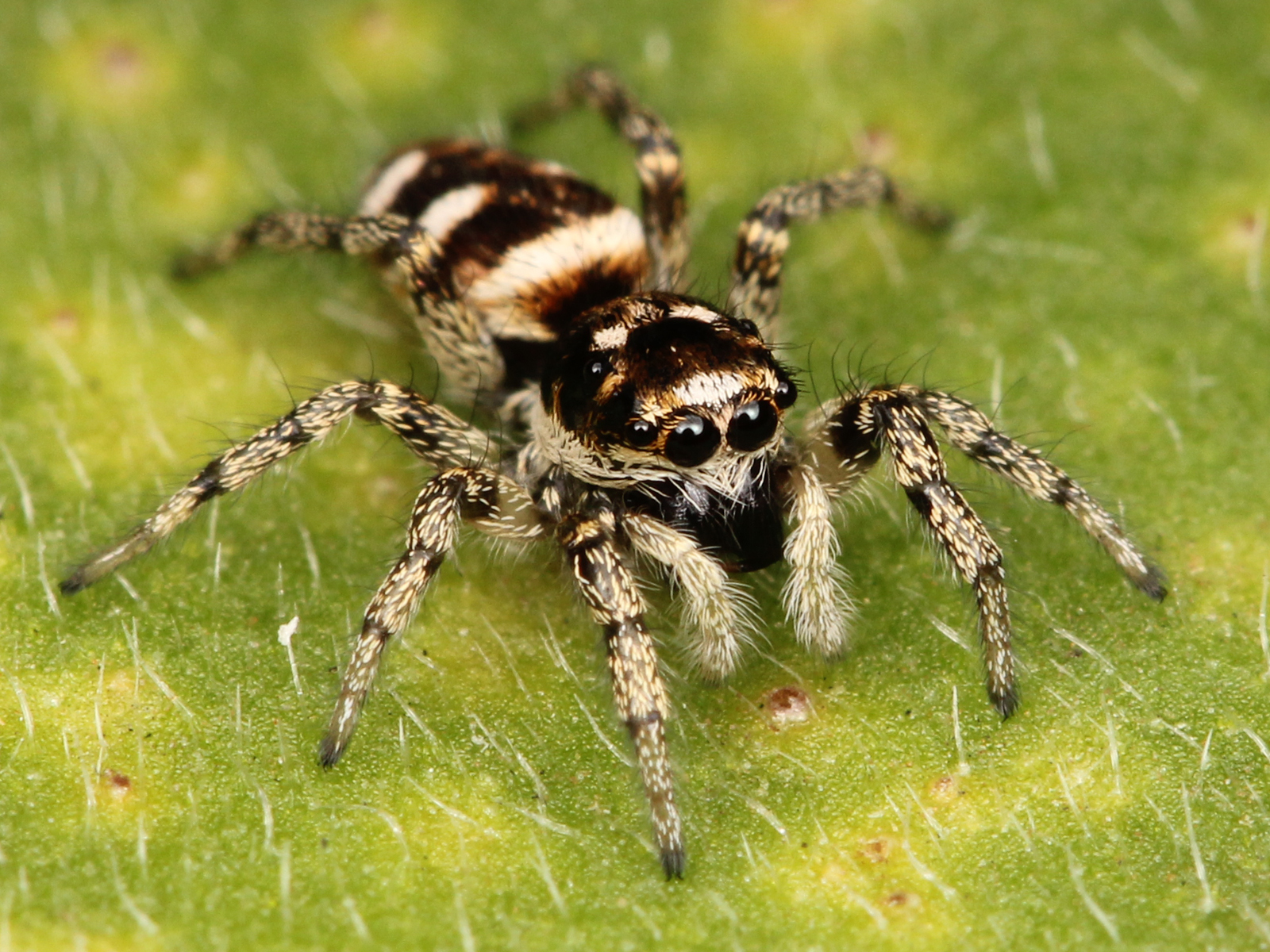 Awarness Of Humans Zebra Spiders  Straight Dope Message Board