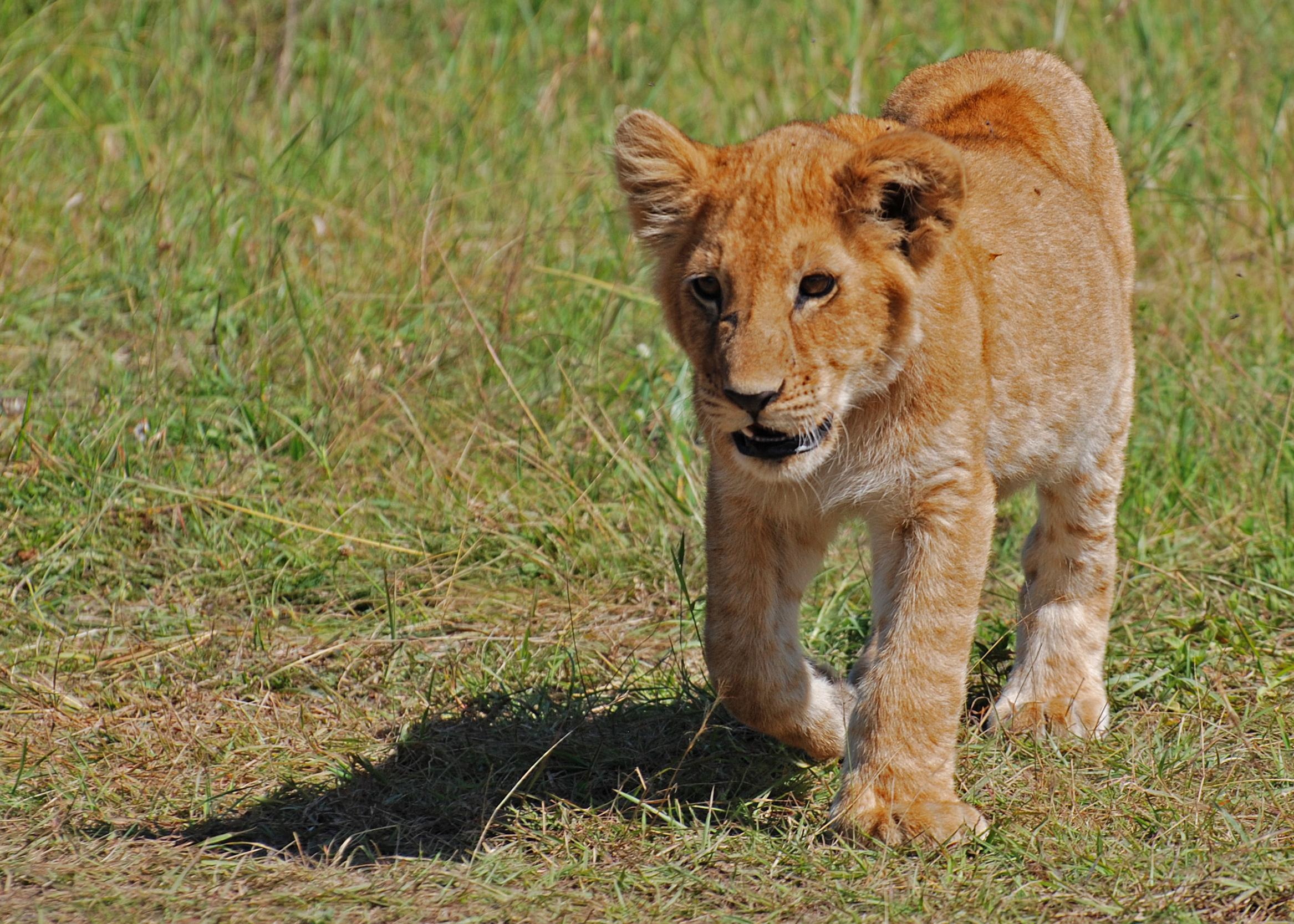 Filelion Cub, Masai Mara, Kenyajpg  Wikipedia