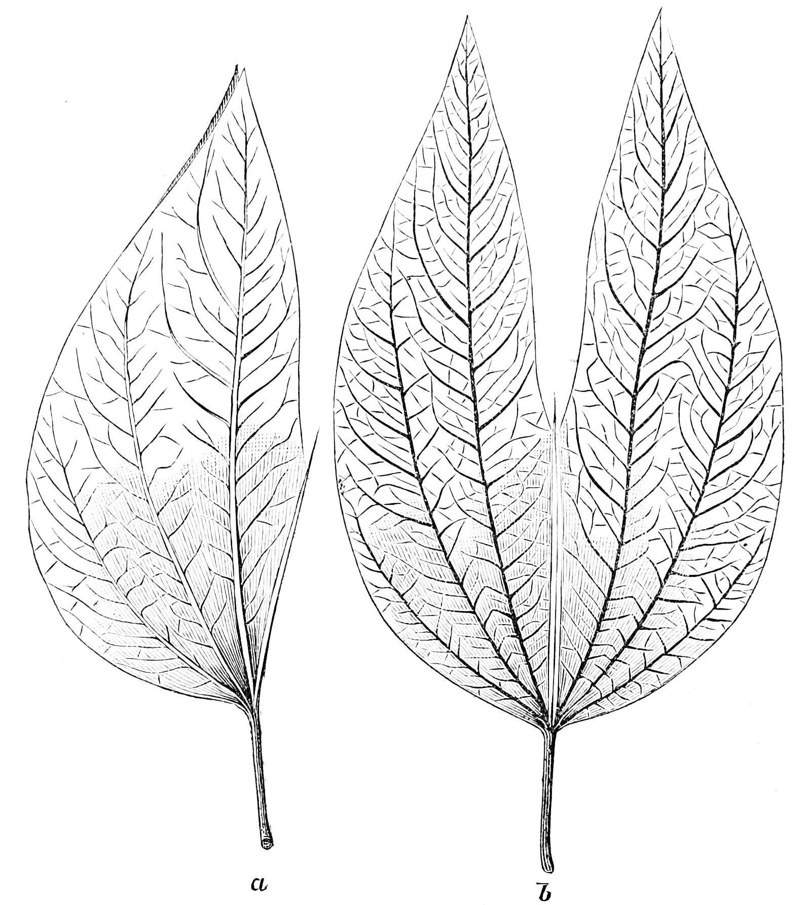 File:PSM V22 D048 Leaf of bauhinia braziliensis.jpg