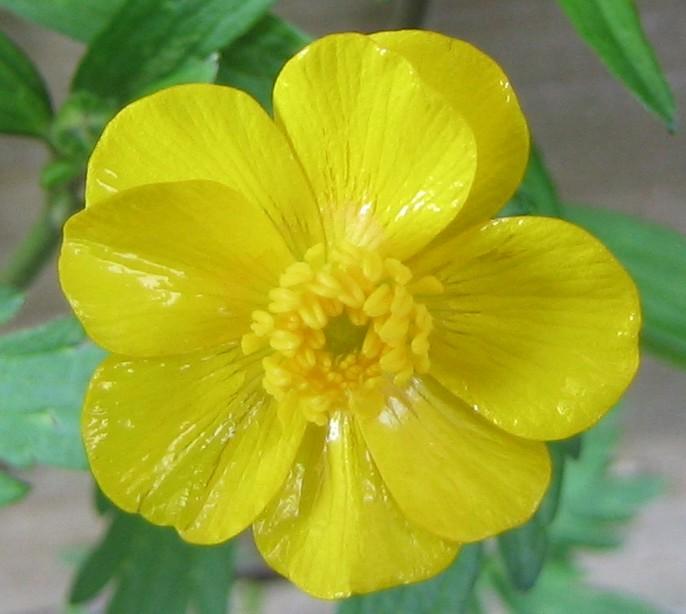 Kruipende boterbloem  Wikipedia