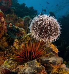 sea urchin [ 1822 x 2431 Pixel ]