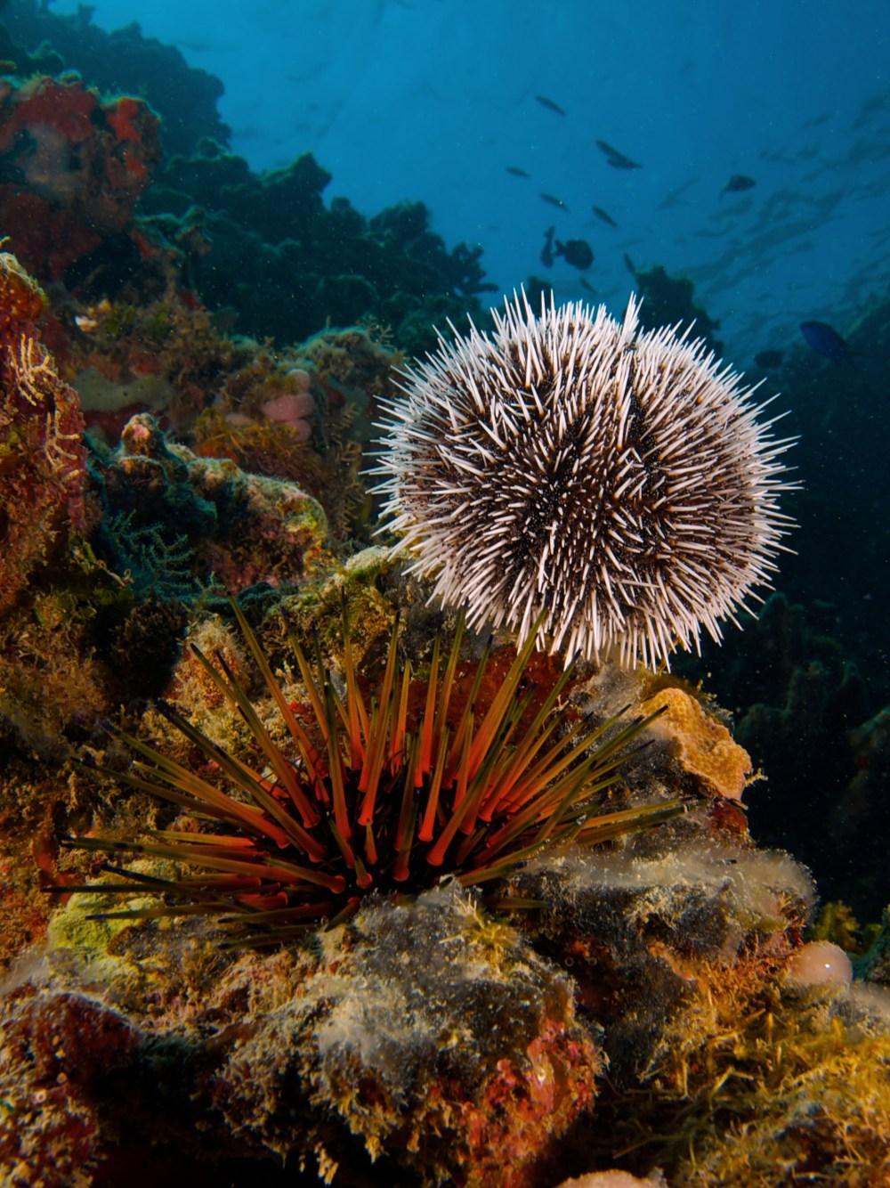 medium resolution of sea urchin