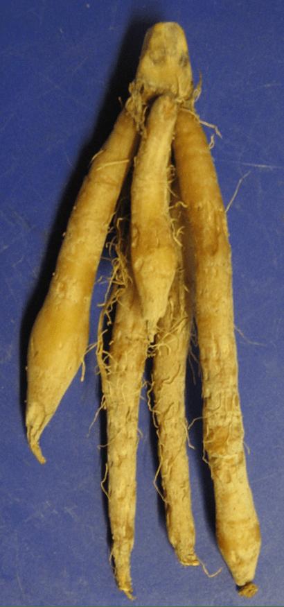 Boesenbergia rotunda  Wikipedia