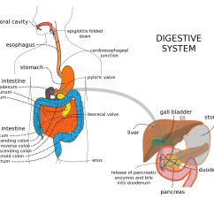 Goat Intestines Diagram Stress Strain Diagrams For Engineering Materials File Digestive System With Liver Png Wikimedia Commons