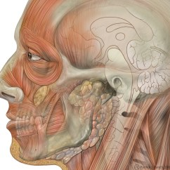 Face Bone Diagram 1988 Honda Accord Ignition Wiring Facial Toning Wikipedia