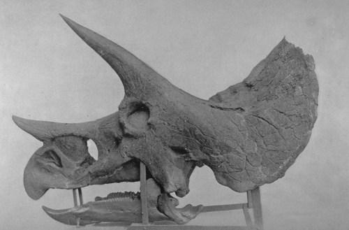 File:Triceratopsskull.jpg