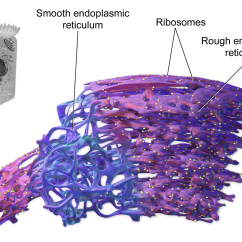 Endoplasmic Reticulum Animal Cell Diagram Hammerhead Twister 150cc Wiring Model Project Parts Structure Labeled