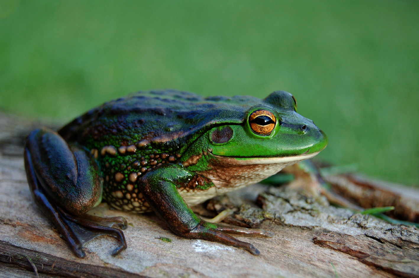 List Of Amphibians Of New Zealand  Wikipedia