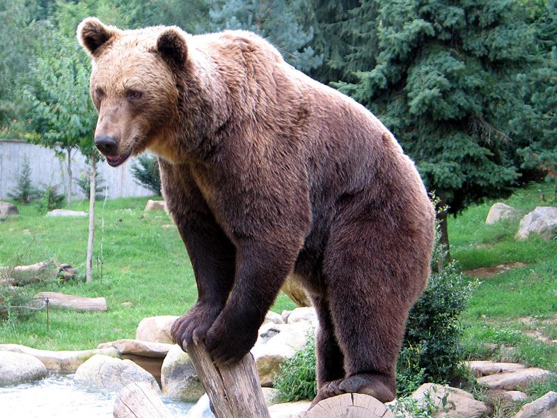 bear wiktionary