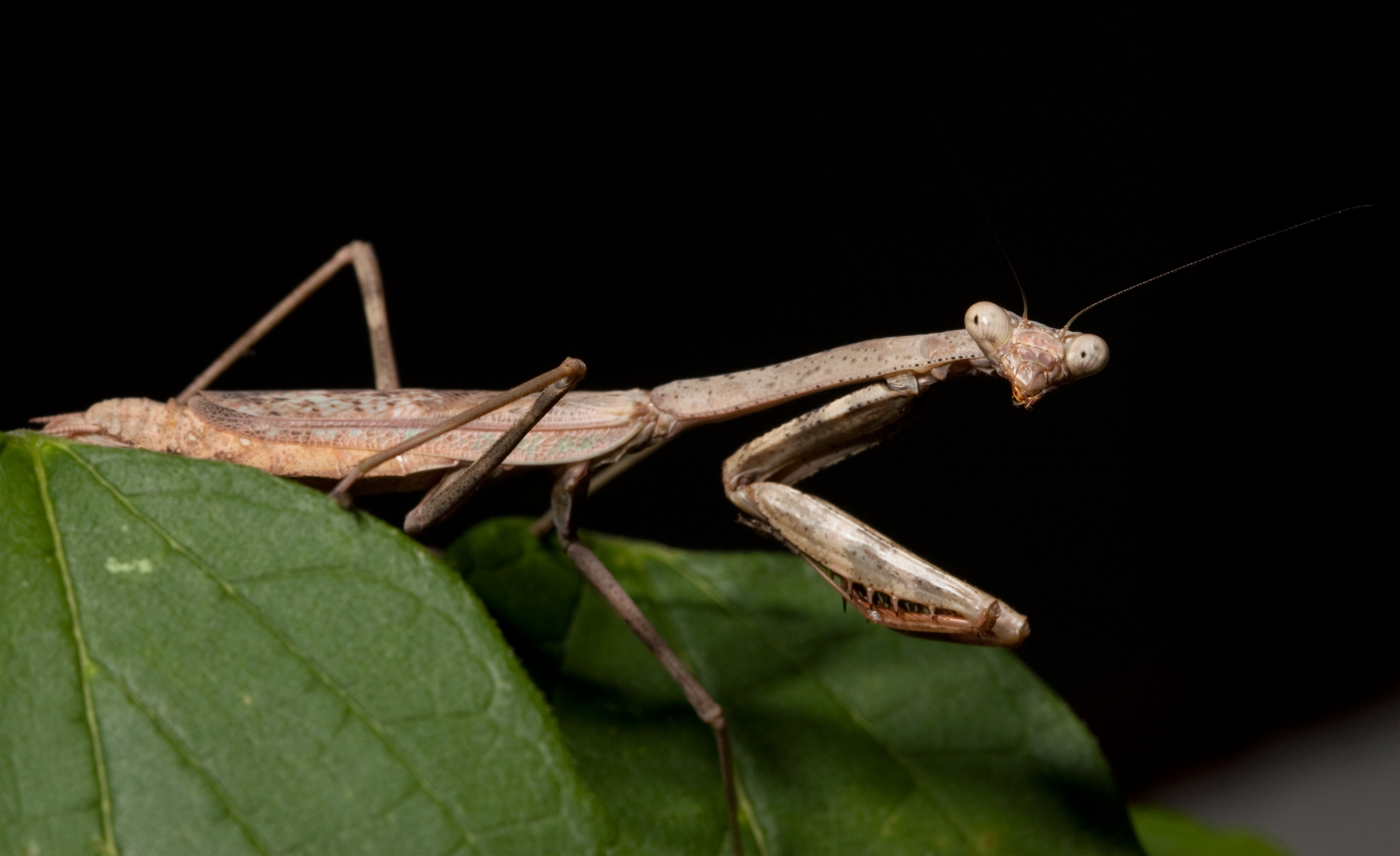 1000 Images About Phasmida Mantodea On Pinterest Praying Mantis Insects And Sticks