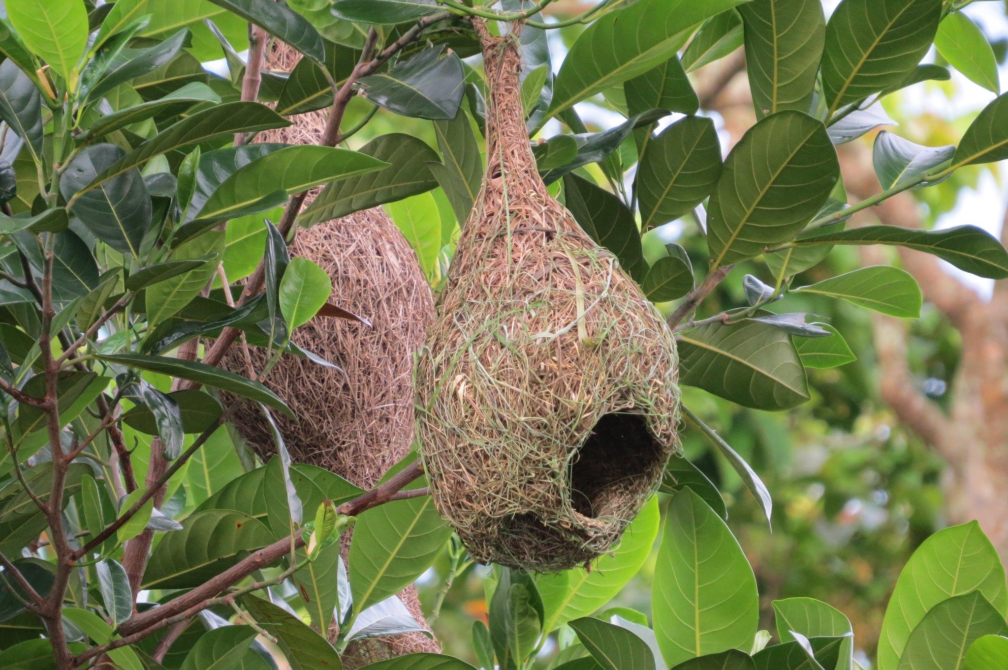 File Weaver Nest