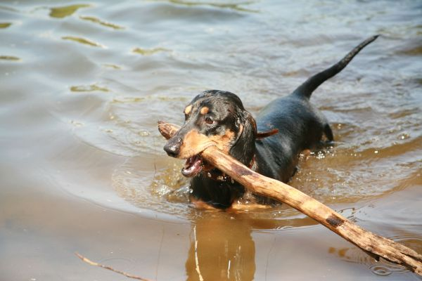 File Dachshund Swimming With - Wikimedia Commons