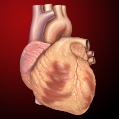 Realistic Heart Diagram Ibanez Wiring Diagrams 5 Way Switch Wikipedia