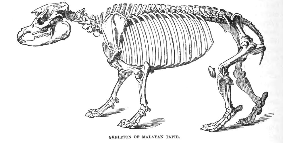 Malayan Tapir Skeleton