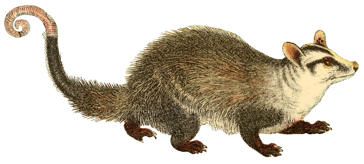 marsupial  definition  What is